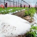 granizo productores
